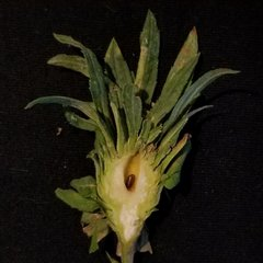 vertical section  of Procecidochares atra gall