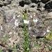 Cleome chilensis - Photo (c) Matt Berger,  זכויות יוצרים חלקיות (CC BY)