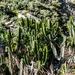 Euphorbia royleana - Photo (c) Yaling Lin, algunos derechos reservados (CC BY-NC)