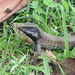 Trinidad Ameiva - Photo (c) jaredclarkenl, some rights reserved (CC BY-NC)