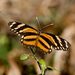 Mariposa Creciente de Alas Largas - Photo (c) Soheil Zendeh, algunos derechos reservados (CC BY-NC-SA)