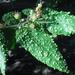 Aceria guazumae - Photo (c) Martin Reith, alguns direitos reservados (CC BY-NC)