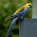 Pale-headed Rosella - Photo (c) Giverny, some rights reserved (CC BY-NC)