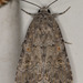 Beet Armyworm Moth - Photo (c) Paul G. Johnson, some rights reserved (CC BY-NC-SA)