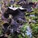 Peltigera evansiana - Photo (c) Rob Curtis, algunos derechos reservados (CC BY-NC-SA)