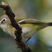 Cassin's Vireo - Photo (c) Jerry Oldenettel, some rights reserved (CC BY-NC-SA)