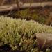 Cladonia ramulosa - Photo (c) Tomás Curtis,  זכויות יוצרים חלקיות (CC BY-NC)