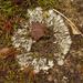 Phaeophyscia hirsuta - Photo (c) Tomás Curtis, algunos derechos reservados (CC BY-NC)