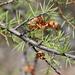 Acacia tetragonophylla - Photo (c) Adam Yates, algunos derechos reservados (CC BY-NC)