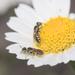Callonychium - Photo (c) orlandomontes, algunos derechos reservados (CC BY-NC)