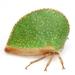 Archasia auriculata - Photo (c) Mike Quinn, Austin, TX, alguns direitos reservados (CC BY-NC)