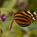 Mariposa Alas de Tigre Mimética Sureña - Photo (c) Karl Kroeker, algunos derechos reservados (CC BY-NC)