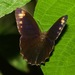 Pronophila unifasciata - Photo (c) Tom Horton, algunos derechos reservados (CC BY-NC)