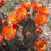 Echinocereus gurneyi - Photo (c) Wolfgang Blum, algunos derechos reservados (CC BY-NC)