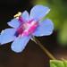 Lysimachia arvensis caerulea - Photo (c) Felix Riegel,  זכויות יוצרים חלקיות (CC BY-NC)