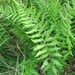 Coryphopteris simulata - Photo (c) Sean Blaney,  זכויות יוצרים חלקיות (CC BY-NC)