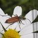 Anastrangalia dubia - Photo (c) Pascal Dubois,  זכויות יוצרים חלקיות (CC BY-NC)