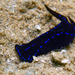Blue Velvet Headshield Slug - Photo (c) Ewout Knoester, some rights reserved (CC BY-NC)