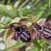 Ophrys cretica ariadnae - Photo (c) Felix Riegel, algunos derechos reservados (CC BY-NC)