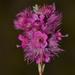 Verticordia lindleyi purpurea - Photo (c) Timothy Hammer, μερικά δικαιώματα διατηρούνται (CC BY-NC)