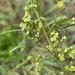 Searsia pygmaea - Photo (c) Troos van der Merwe, algunos derechos reservados (CC BY-NC)