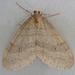 Operophtera fagata - Photo (c) Janet Graham,  זכויות יוצרים חלקיות (CC BY)