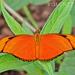 Mariposa Julia Americana - Photo (c) Eduardo Axel Recillas Bautista, algunos derechos reservados (CC BY-NC)