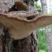 Pine Bracket - Photo (c) Kari Pihlaviita, some rights reserved (CC BY-NC)