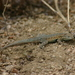 Western Side-blotched Lizard - Photo (c) Robert McNicholas, some rights reserved (CC BY-NC-ND)