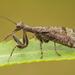 Gerstaeckerella chilensis - Photo (c) Vicente Valdes Guzman, some rights reserved (CC BY-NC)