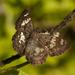 Saltarina Alas de Celofán - Photo (c) Karl Kroeker, algunos derechos reservados (CC BY-NC)