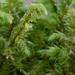 Hylocomiadelphus triquetrus - Photo (c) Vladimir Bryukhov, algunos derechos reservados (CC BY-NC)