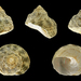 Green Star Shell - Photo (c) H. Zell, some rights reserved (CC BY-SA)