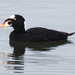 Surf Scoter - Photo (c) BJ Stacey, some rights reserved (CC BY-NC)