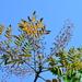Aralia decaisneana - Photo (c) jodyhsieh, μερικά δικαιώματα διατηρούνται (CC BY-NC)