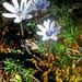 Anemone hortensis heldreichii - Photo (c) Felix Riegel, algunos derechos reservados (CC BY-NC)