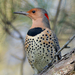Northern Flicker - Photo (c) Alan R. Biggs, some rights reserved (CC BY-NC-ND)