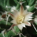 Mammillaria knippeliana - Photo (c) Ulises Guzmán, alguns direitos reservados (CC BY-NC)