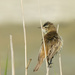 Australian Reed Warbler - Photo (c) bathyporeia, some rights reserved (CC BY-NC-ND)