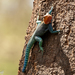 Kenyan Rock Agama - Photo (c) Irene Domhoff, some rights reserved (CC BY-NC)