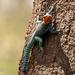 Agama Roquero de Kenia - Photo (c) Irene Domhoff, algunos derechos reservados (CC BY-NC)