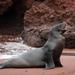 León Marino de Las Galápagos - Photo (c) Steve Harbula, algunos derechos reservados (CC BY-NC)