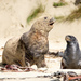 New Zealand Sea Lion - Photo (c) Giverny, some rights reserved (CC BY-NC)