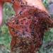 Pyrgulopsis conica - Photo (c) Jeff Sorensen, μερικά δικαιώματα διατηρούνται (CC BY-NC)