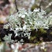 Punctured Bushy Lichen - Photo (c) Samuel Brinker, some rights reserved (CC BY-NC)