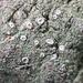 Lecanora thysanophora - Photo (c) Samuel Brinker, alguns direitos reservados (CC BY-NC)