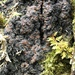 Brown-gray Moss-shingle Lichen - Photo (c) Samuel Brinker, some rights reserved (CC BY-NC)