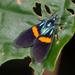 Ctenucha cyaniris - Photo (c) John Christensen, some rights reserved (CC BY-NC)