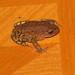 Leptobrachium huashen - Photo (c) Andrew Pierce,  זכויות יוצרים חלקיות (CC BY-NC)