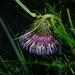 Cirsium tatakaense - Photo (c) jodyhsieh,  זכויות יוצרים חלקיות (CC BY-NC)